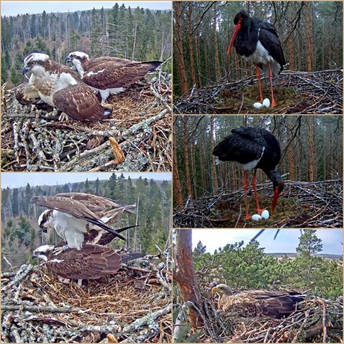 Fiskgjuse-Stork
