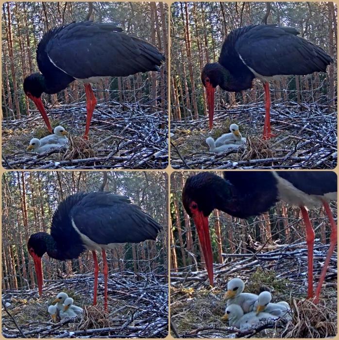 Stork 26-5