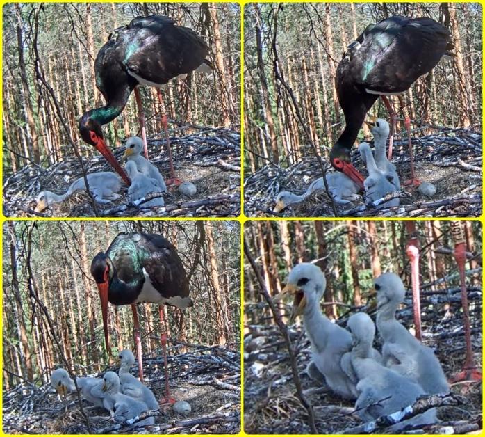 Stork 29-5