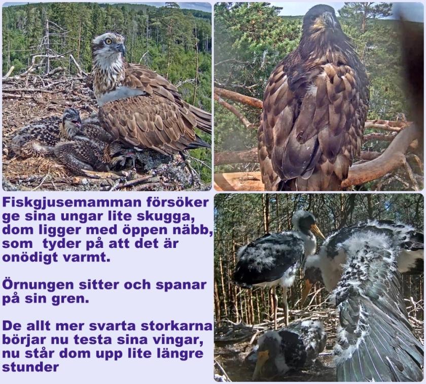 Fåglarc27-6