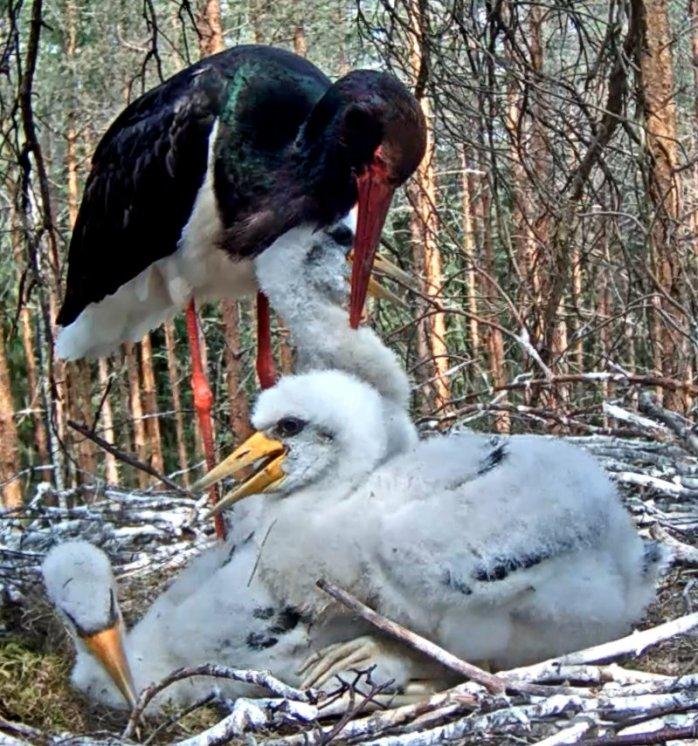 Stork 11-6