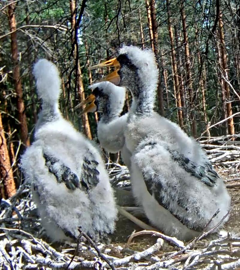 Stork 18-6