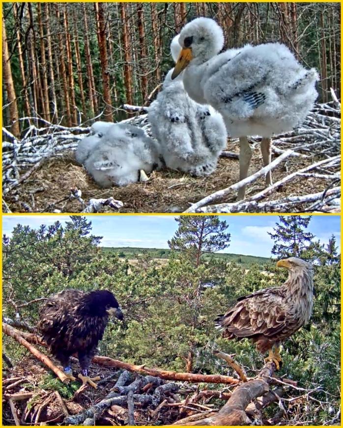 Stork-Örn 8-6