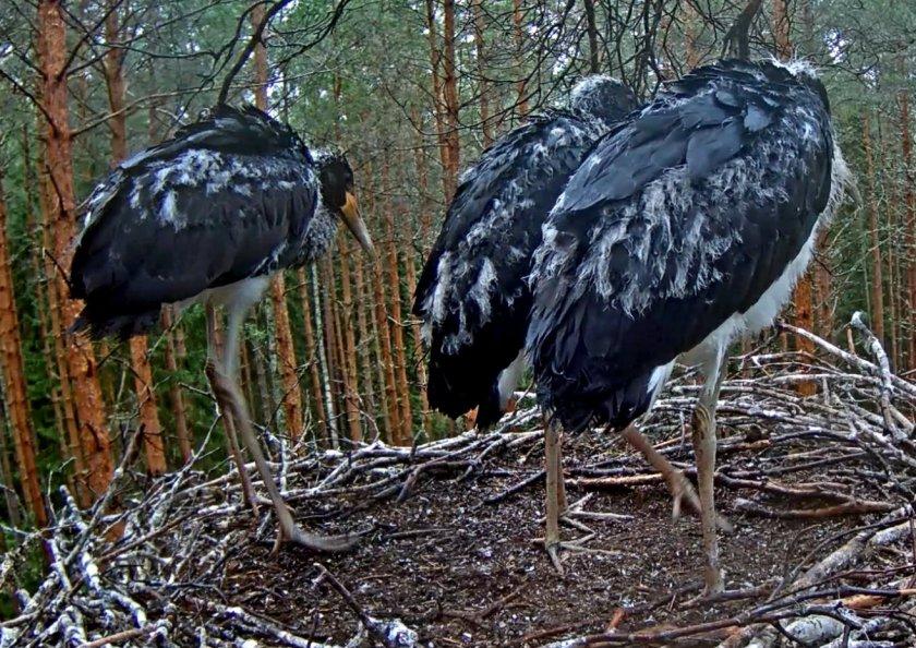 Stork 2-7